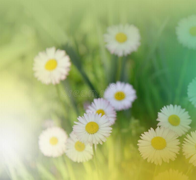 Abstrakcjonistyczna makro- fotografia z stokrotką Stokrotka w trawie Śródpolni stokrotka kwiaty Biała Chamomile marguerite stokro obrazy stock