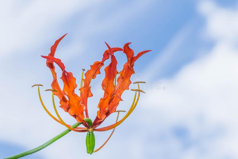 Abstrakcjonistyczna miękka ostrość kolorowa Wspinaczkowa leluja, Wyborowa leluja, Gloriosa superba kwiatu Colchicaceae z piękną n zdjęcia stock