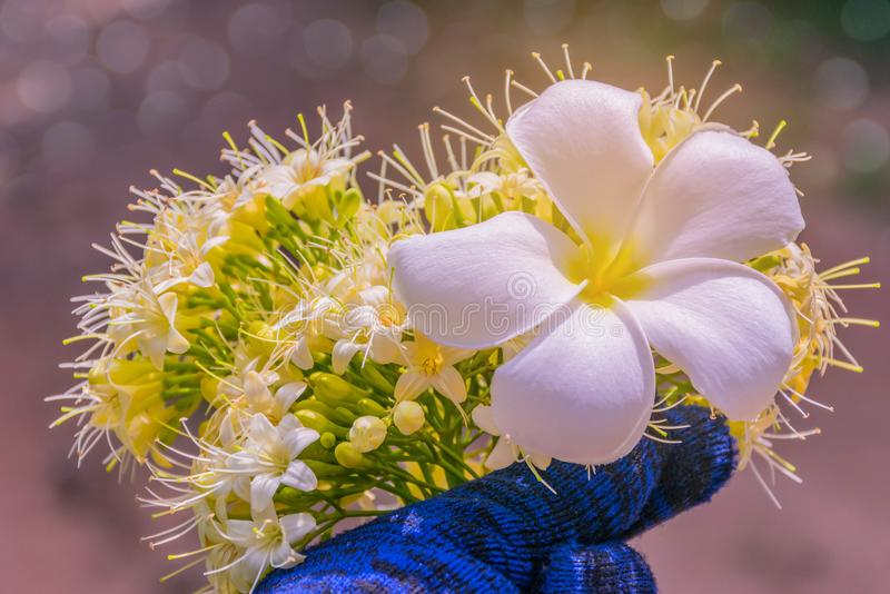 Abstrakcjonistyczna miękka zamazana i miękka ostrości powierzchni tekstura Frangipani, Plumeria, kwiat i Anan, Tembusu, Fagraea f obraz stock