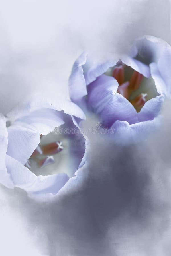 Abstrakcjonistyczna para Purpurowi tulipany fotografia stock