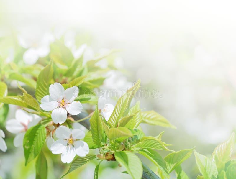 abstrakcjonistyczna tła bokeh wiśnia kwitnie wiosna fotografia royalty free