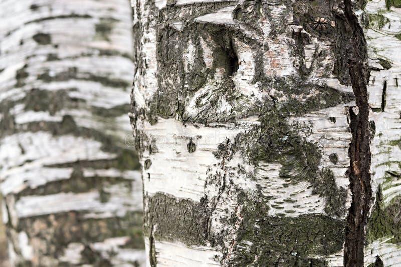 Abstrakcjonistyczna tekstura brzozy barkentyna obraz royalty free