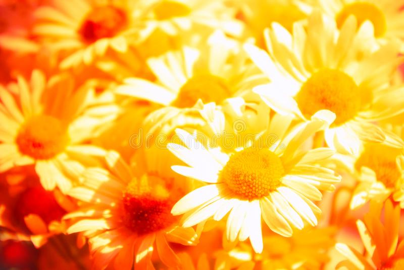 abstrakcjonistycznego t?a kwiecisty lato W górę pięknych chamomile kwiatów zdjęcia stock