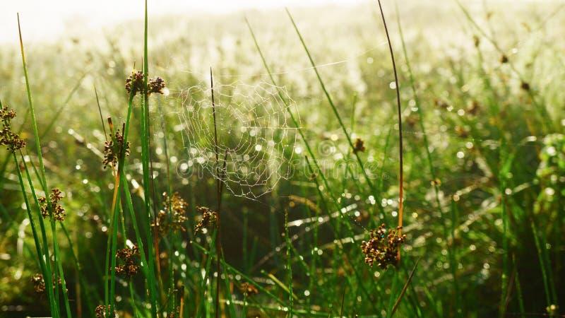 Abstrakcjonistycznej plamy lata świtu trawy jasnozielony tło z pająk sieci pajęczyną, wodne rosa krople Zamyka up, miękka ostrość zdjęcie royalty free