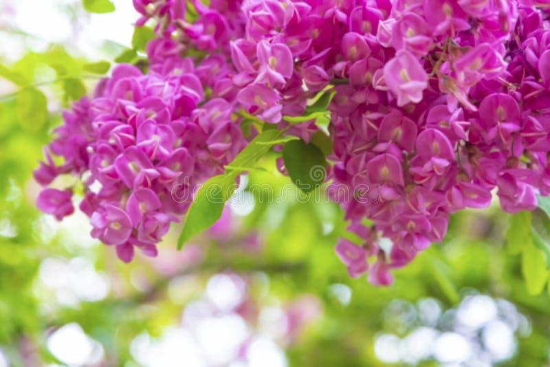 Abstrakcjonistyczni kwitnienie menchii akacji kwiaty zdjęcia royalty free