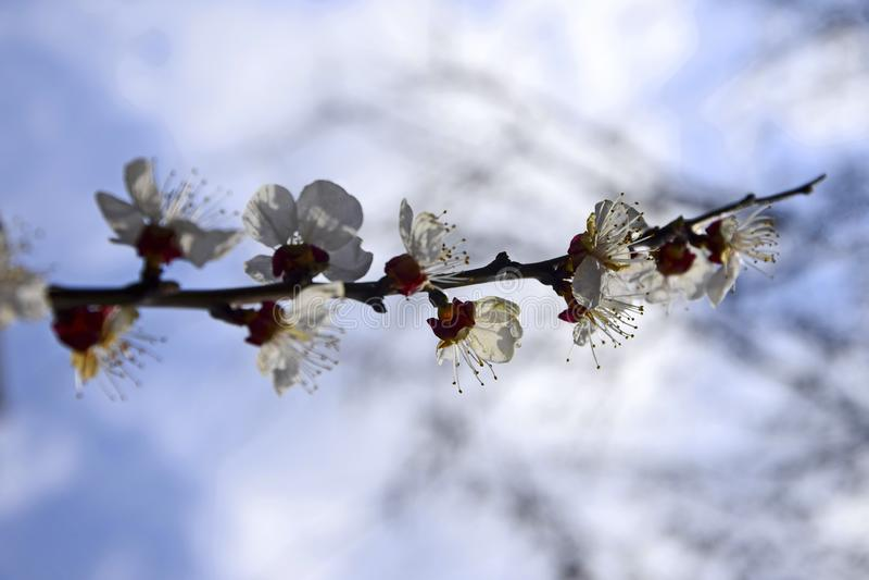 Abstrakcjonistyczni Naturalni t?a Z okwitni?cie moreli Delikatnymi kwiatami fotografia stock