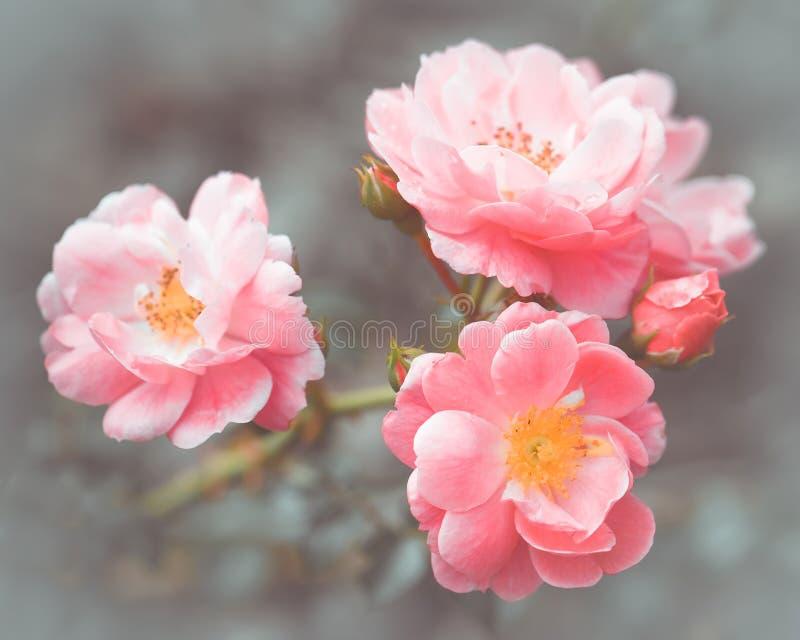 Abstrakcjonistyczni romantyczni różowi róża kwiaty obrazy royalty free
