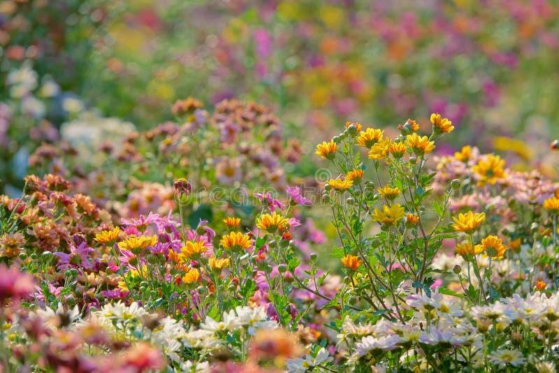 abstrakcjonistyczni tła chryzantemy koloru kwiaty zdjęcia stock