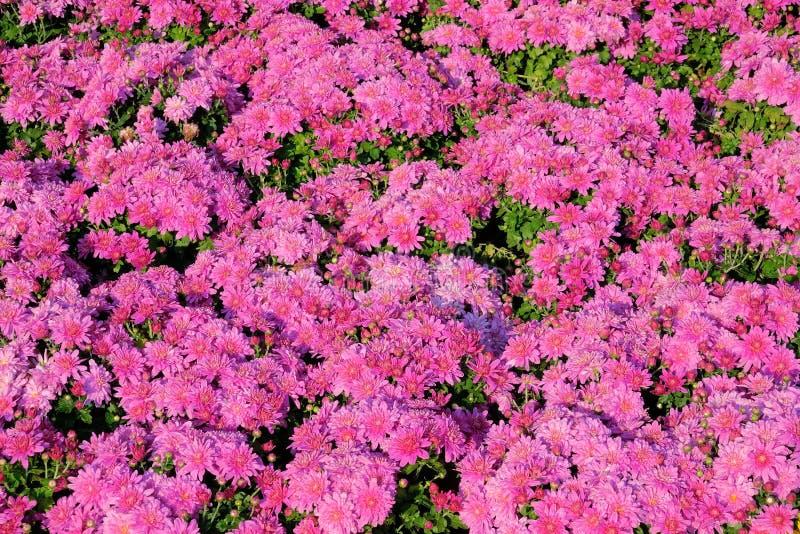 abstrakcjonistyczni tła chryzantemy koloru kwiaty obrazy royalty free