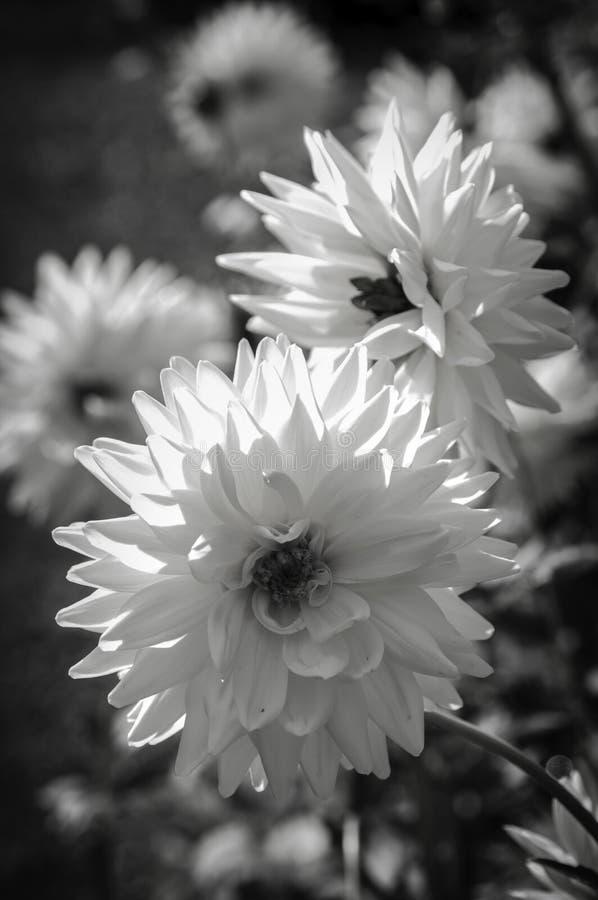 Abstrakcjonistyczny czarny i biały wiosny okwitnięcia zakończenie obrazy royalty free