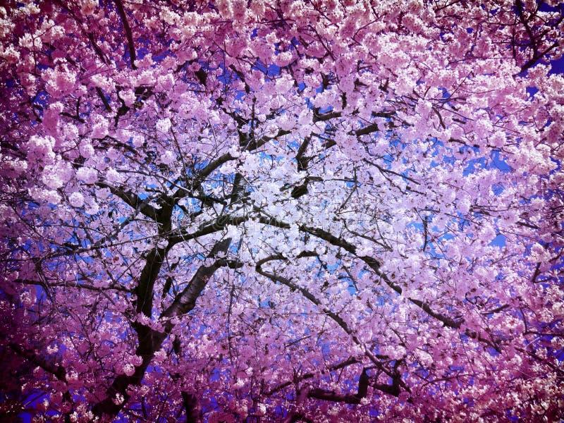Abstrakcjonistyczny Czereśniowego okwitnięcia drzewo w Kwietniu obraz stock