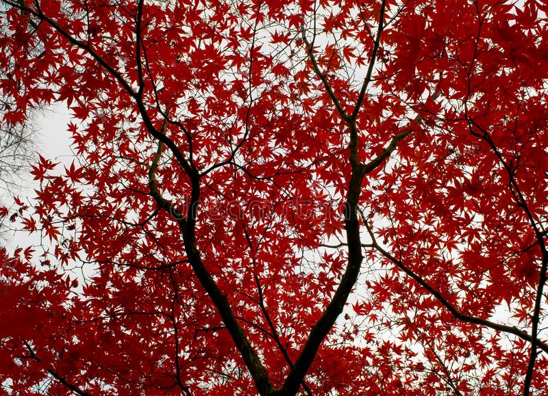 Abstrakcjonistyczny Czerwony drzewo obrazy stock