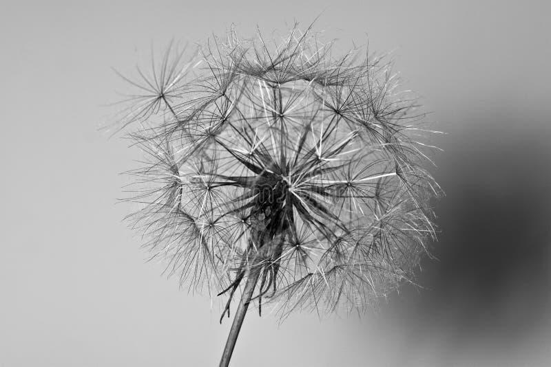 Abstrakcjonistyczny dandelion kwiatu tło, krańcowy zbliżenie. zdjęcia royalty free