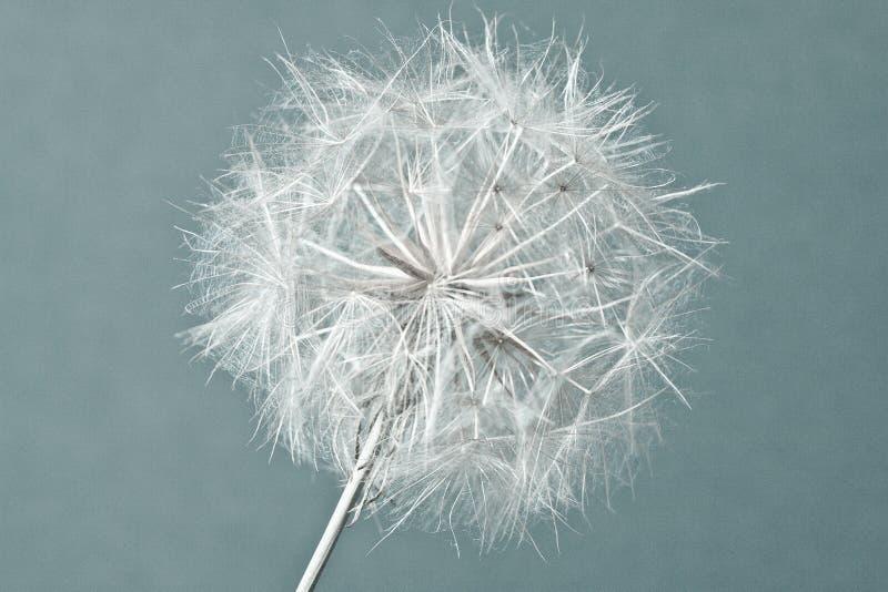 Abstrakcjonistyczny dandelion kwiatu tło, krańcowy zbliżenie. fotografia stock