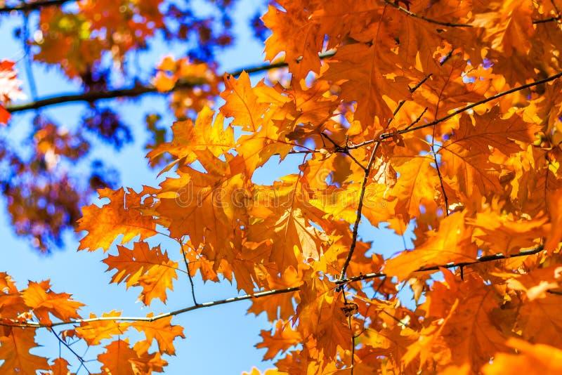Abstrakcjonistyczny jesieni tło, starzy pomarańcze liście, suchy drzewny ulistnienie, miękka ostrość, jesienny sezon, zmieniać na zdjęcia royalty free