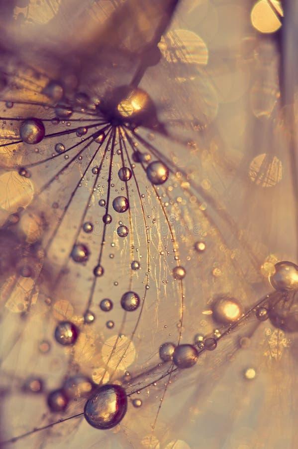 Abstrakcjonistyczny makro- dandelion z rosa kroplami Złoto krople obrazy royalty free