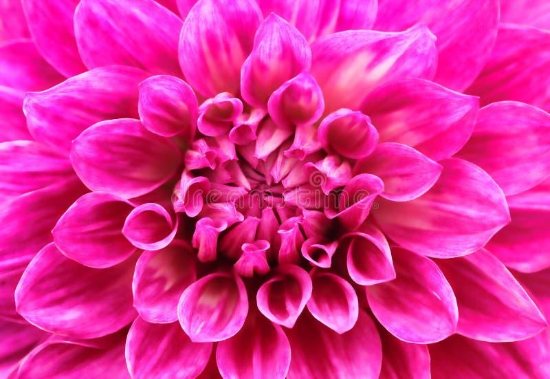 Abstrakcjonistyczny makro- różowy dalii stokrotki kwiat z uroczymi płatkami zdjęcia stock