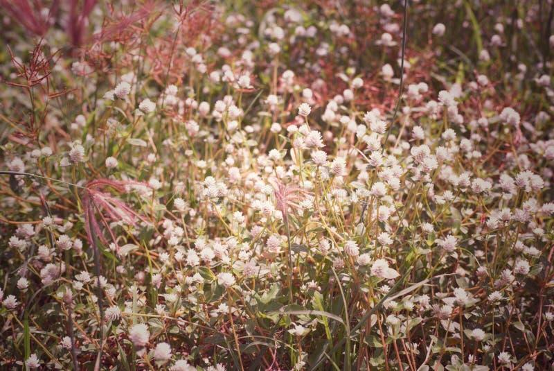 Abstrakcjonistyczny rocznika tło kwiat świrzepa w łąkowym polu i trawa zdjęcia stock