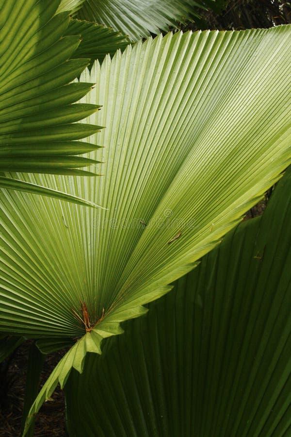 Abstrakcjonistyczny skład kapuściana palma opuszcza w południowym Floryda obraz royalty free