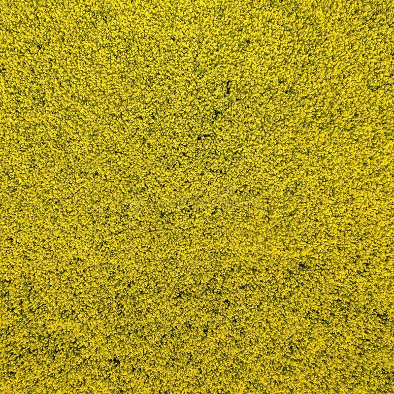 Abstrakcjonistyczny tło od powietrznej fotografii żółty kwitnący canola pole przy wzrostem 100 metrów zdjęcie royalty free