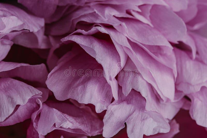 Abstrakcjonistyczny tło z menchiami gładzi peonia kwiatu płatki zdjęcia royalty free