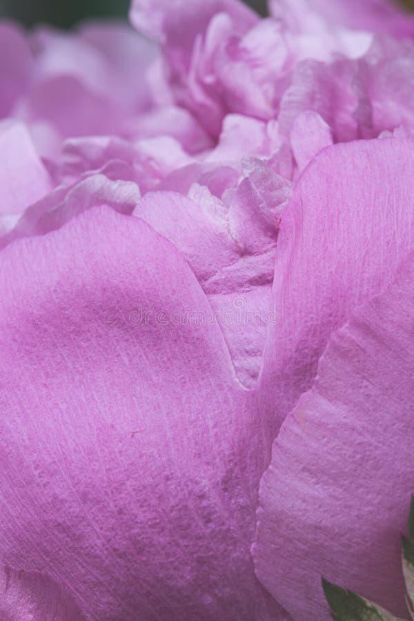 Abstrakcjonistyczny tło z menchiami gładzi peonia kwiatu płatki zdjęcie stock