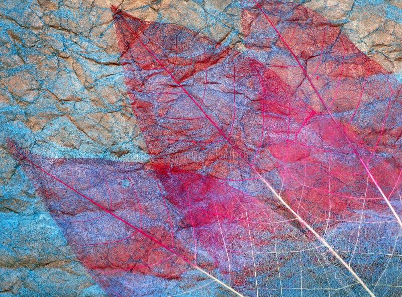 Abstrakcyjne tło jesiennych liści przezroczyste liście na niebiesko liści purpurowe zdjęcie royalty free