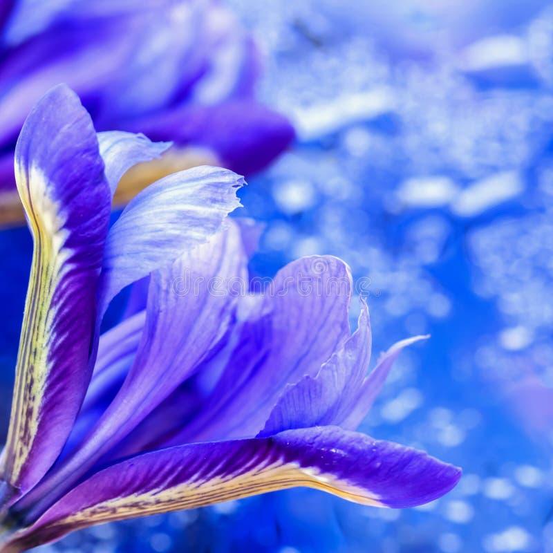 Abstrakt bakgrund i moderna halvton med den pråliga pittoreska ljusa irisblomman, suddig stil Magiska toner av blått royaltyfri fotografi