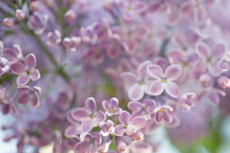 abstrakt bakgrund Storen specificerar! lila blommas blommor Blom- vårtid för naturlig bakgrund arkivbilder