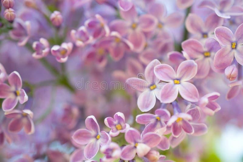 abstrakt bakgrund Storen specificerar! lila blommas blommor Blom- vårtid för naturlig bakgrund royaltyfri foto