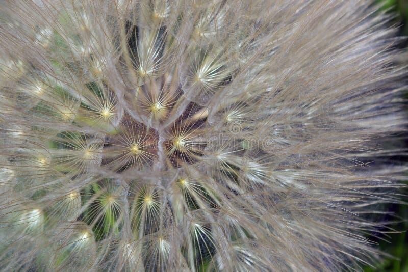 abstrakt bakgrundsmaskrosblomma E Mjukt f royaltyfri foto