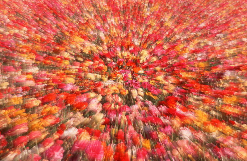 Abstrakt begrepp sköt av ranunculusblommor, San Diego, CA arkivfoto