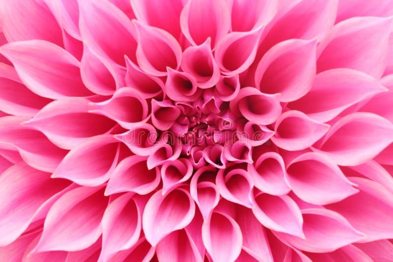 Abstrakt closeup (makro) av den rosa dahliablomman med nätta kronblad arkivbild
