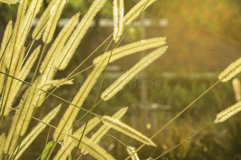 Abstrakt gräsblommaPoaceae med soluppgångbakgrund arkivfoton