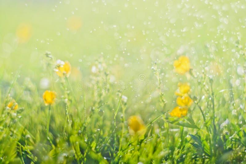 Abstrakt grönt nytt gräs och löst litet gult blommafält med abstrakt suddig lövverk och ljust sommarsolljus royaltyfri fotografi