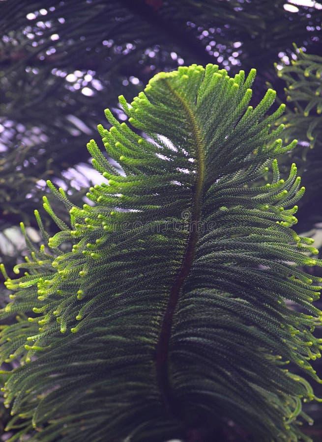 Abstrakt grönt stort blad av ett granträd arkivbild