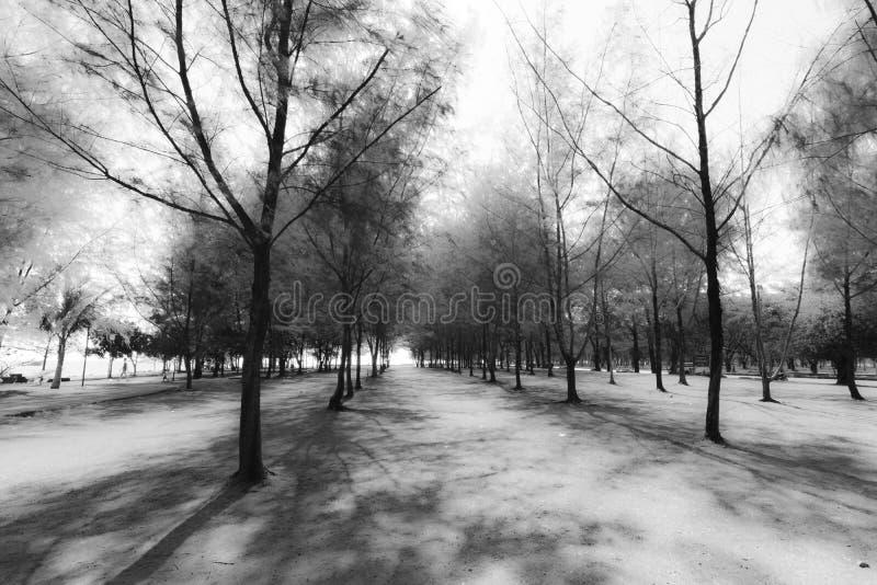 Abstrakt grupp av Pine svartvit bakgrund för träd royaltyfri bild