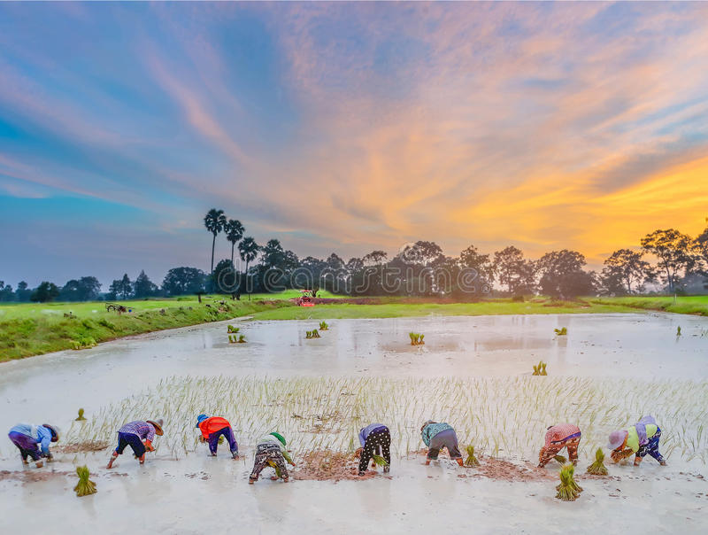Abstrakt kontur av solnedgången med bondeövningen, en forntida metod, till kolonin, grönt rårisfält med härligt royaltyfri bild