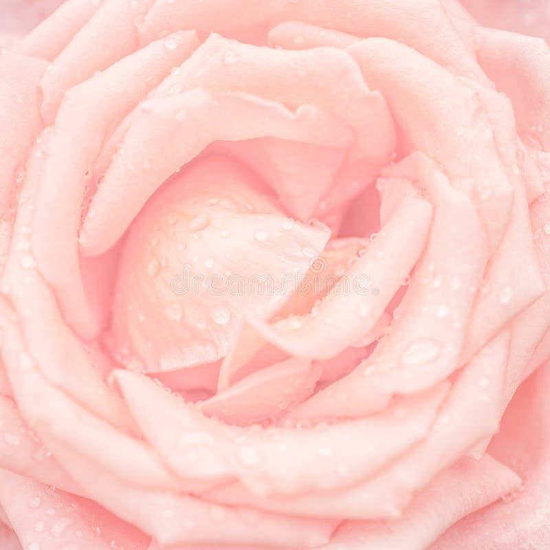 Abstrakt makroskott av den härliga rosa färgrosblomman med vattendro royaltyfri foto