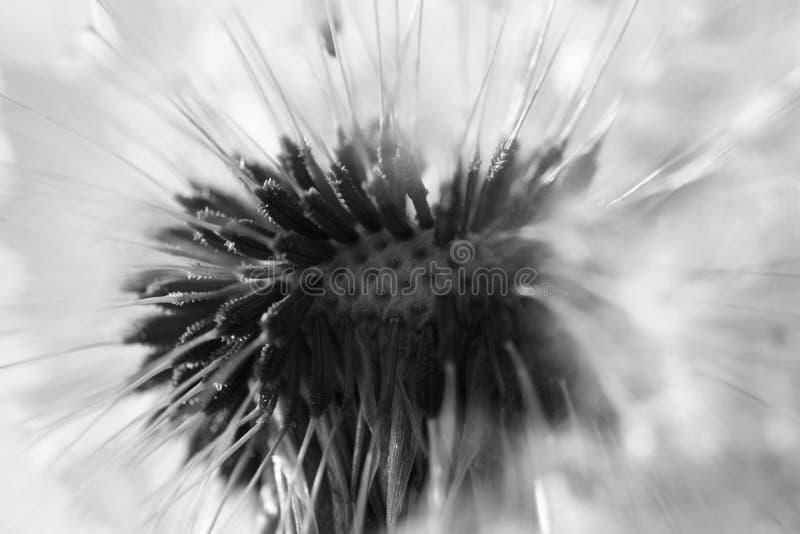 Abstrakt maskrosblommabakgrund, extrem closeup Stor maskros på naturlig bakgrund royaltyfri fotografi