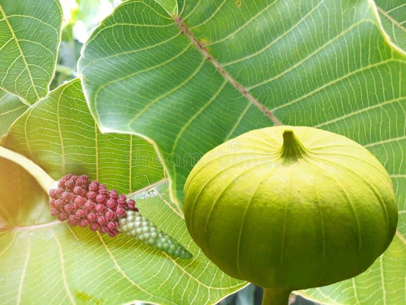 Abstrakt mjuk suddig och mjuk fokus av det Bodhi trädet, sidor, blomman och frukt, sakral fikonträd, fikusreligiosa, Moraceae, Eu royaltyfri bild