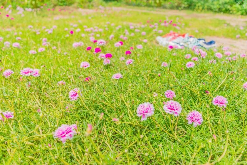 Abstrakt mjuk suddig och mjuk fokus av färgrikt, portulaca, purslane, solväxt, Portulaca oleracea, Portulacaceaeblomma med suddig royaltyfria foton