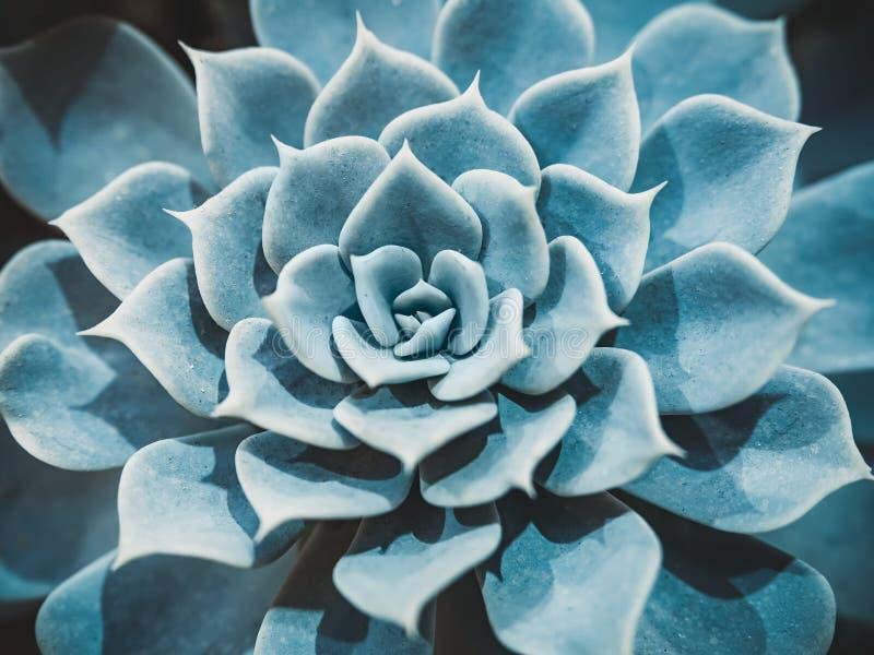 Abstrakt närbild av den färgrika naturliga rosettmodellen av en suckulent växt, Echeveriaen Capri, Echeveria lilacina royaltyfri foto