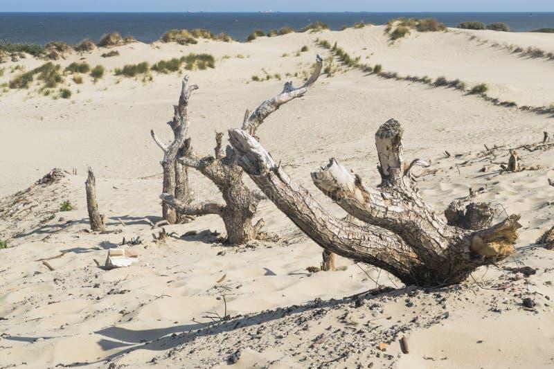 Abstrakt naturbakgrund med dyner och döda träd längs Nordsjökusten nära Haag i Nederländerna royaltyfri foto