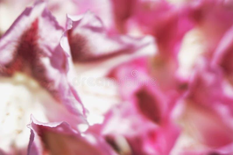 Abstrakt satängrosa färgtextur som göras från kronblad av den dekorativa blomman, grunt djup av fältet arkivfoto