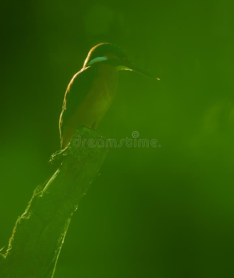 Abstrakt sikt för gemensam kungsfiskare till och med tät lövrik grön lövverk arkivfoto