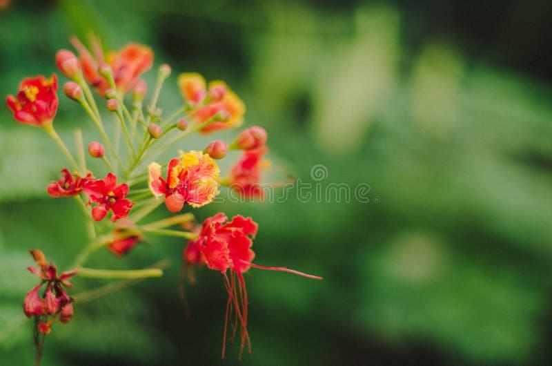 Abstrakt suddighet av den röda blomman på suddighetsgräsplanbakgrund: tappning till royaltyfri bild