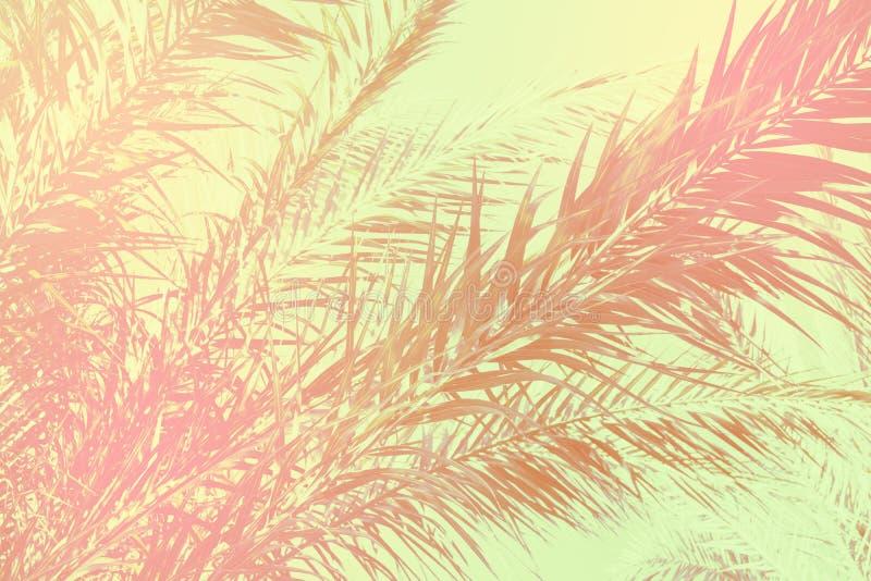 Abstrakt tropisk naturbakgrund Den långa palmträdet lämnar himmel Bleknade rosa tonat grått grönt för tappning grungy textur skra arkivfoto