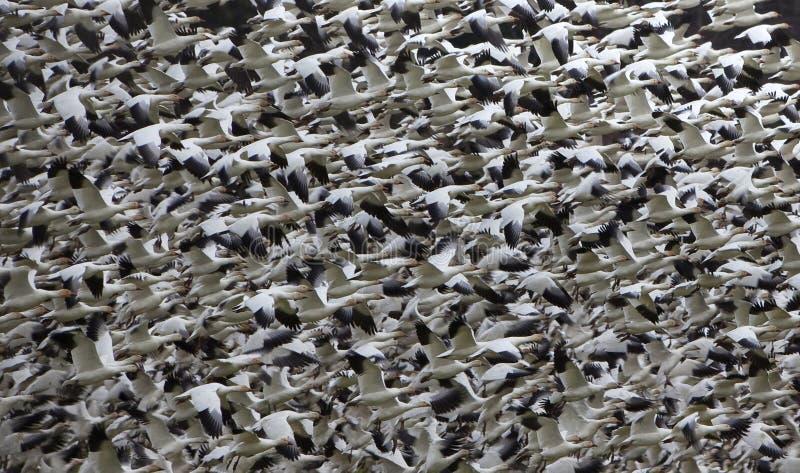 abstrakt tusentals för flyggässsnow arkivbild