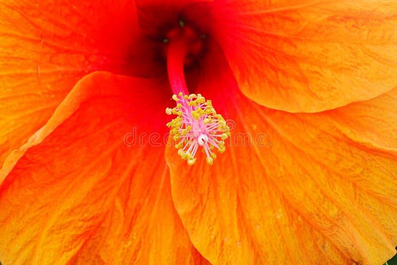 abstrakt vektor för blommahibiskusillustration royaltyfri bild